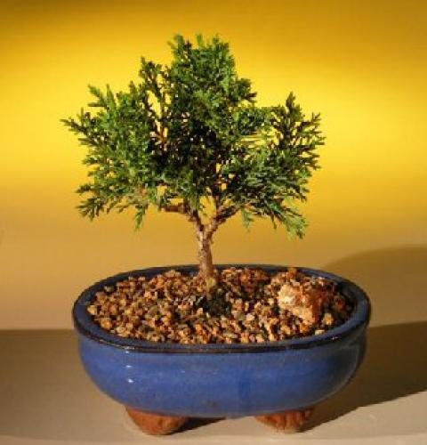 budget bonsai trees shimpaku budget bonsai tree