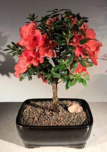 Indoor Bonsai Trees Flowering Red Azalea