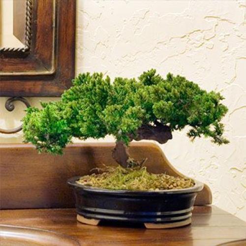 artificial bonsai trees monterey single trunk. Black Bedroom Furniture Sets. Home Design Ideas