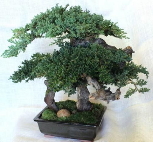 artificial bonsai trees 20 monterey preserved bonsai. Black Bedroom Furniture Sets. Home Design Ideas