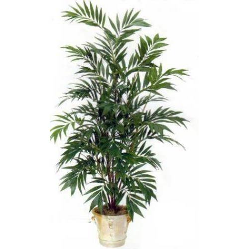 6 foot Asian Bamboo Palm Tree
