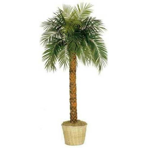 10 foot Tall Phoenix Palm Tree