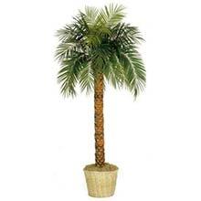 8 Foot Tall Phoenix Palm Tree 184 95