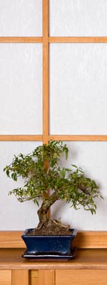 Bonsai tree in front of a shoji screen