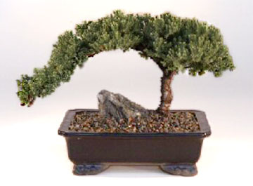 Shop Bonsai Trees