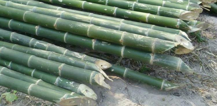 Stacks of fresh cut bamboo.