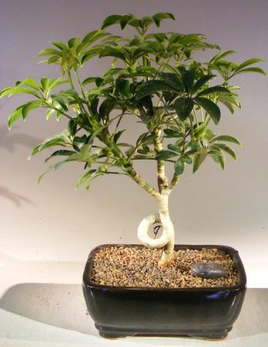 Indoor Bonsai Trees :: Hawaiian Paradise Indoor Bonsai Tree