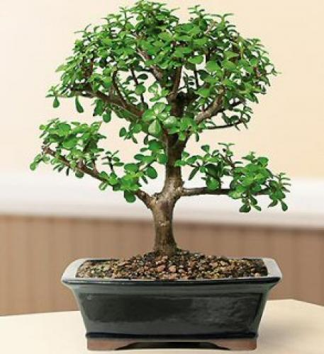 Elephant Bush Bonsai Tree :: Indoor Bonsai Trees