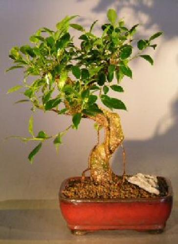 Curved Trunk Money Tree Bonsai