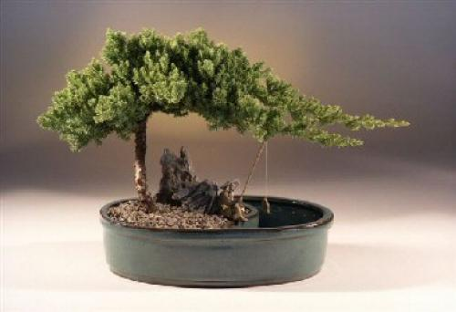Waterpot Juniper Bonsai Tree :: Juniper Bonsai Trees