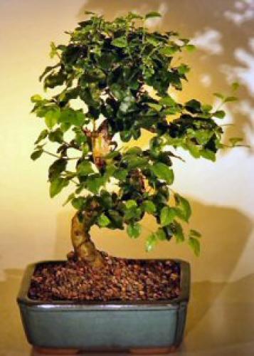Indoor Bonsai Trees :: Flowering Ligustrum Bonsai Tree