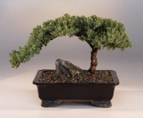 Medium Size Juniper Bonsai Tree :: Juniper Bonsai Trees