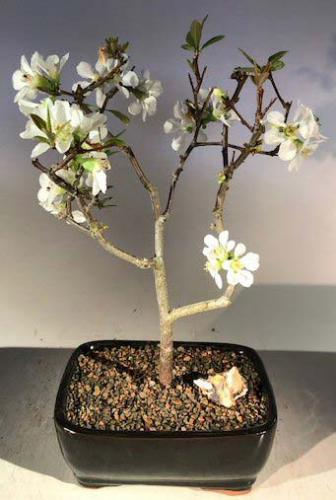 Indoor Bonsai Trees Quince Japanese Bonsai Tree