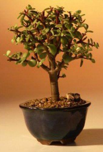 Indoor Bonsai Trees Baby Jade Money Tree Bonsai