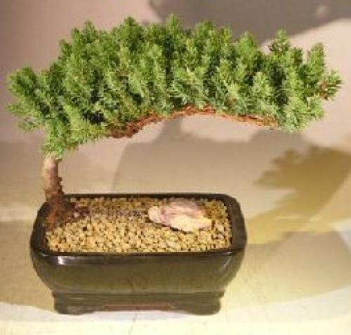 Juniper Bonsai Trees :: Dwarf Juniper Bonsai Tree (Small Size)