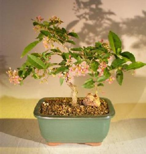 Indoor Bonsai Trees Flowering Dwarf Weeping Barbados Cherry Bonsai Tree Medium
