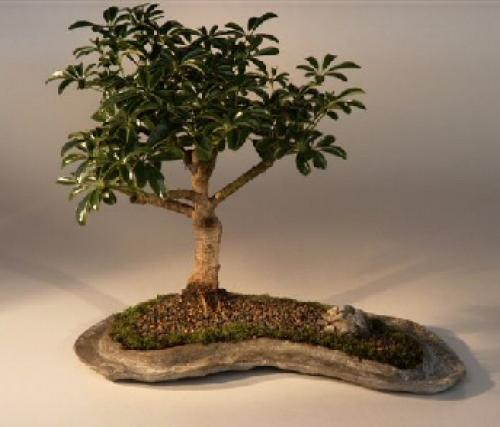 Indoor Bonsai Trees Hawaiian Umbrella Tree In Rock Slab