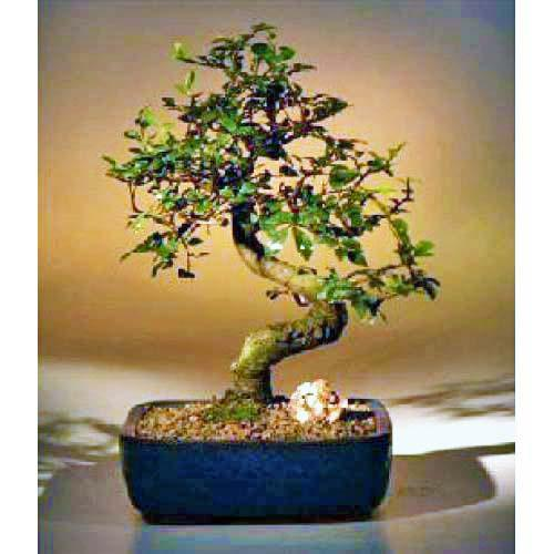 Chinese Elm with Curved Trunk :: Indoor Bonsai Trees