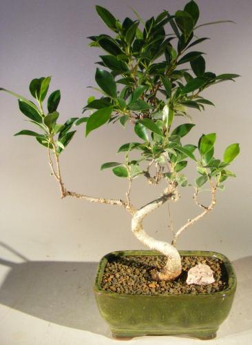 Ficus Retusa Curved Trunk Bonsai Tree :: Indoor Bonsai Trees