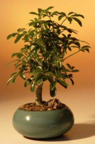 Indoor Bonsai Trees Hawaiian Umbrella Tree Bonsai