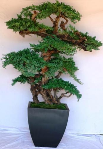artificial bonsai trees 6 foot monterey preserved. Black Bedroom Furniture Sets. Home Design Ideas