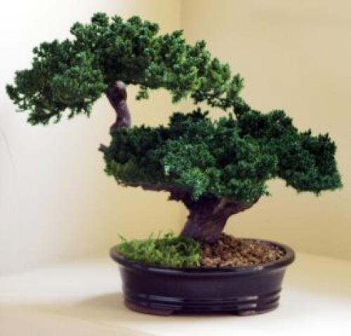 Artificial Bonsai Trees Monterey Double Trunk