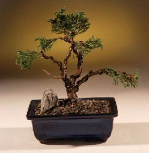 Juniper Bonsai Trees Needled Evergreen Juniper Bonsai Tree