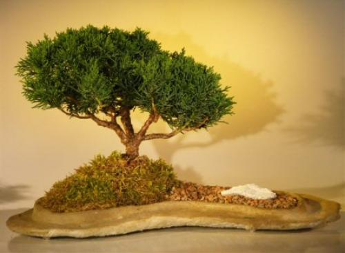 Peaceful Juniper Bonsai Tree :: Juniper Bonsai Trees