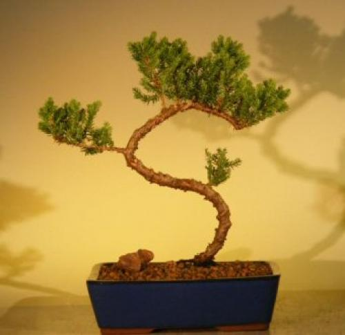 Elegant Juniper Bonsai Tree :: Juniper Bonsai Trees