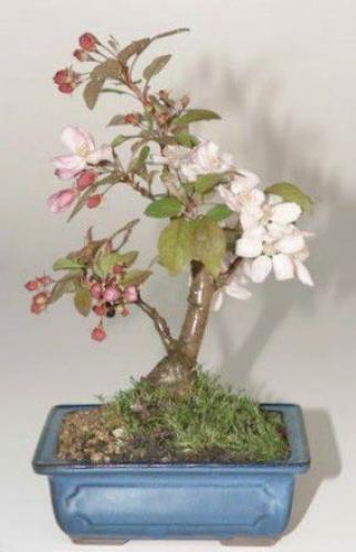 Flowering Crabapple Bonsai Tree :: Indoor Bonsai Trees