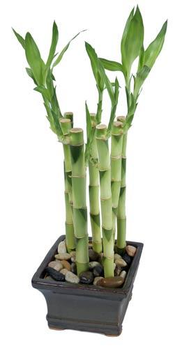 Sherwood Forest :: Lucky Bamboo Plant