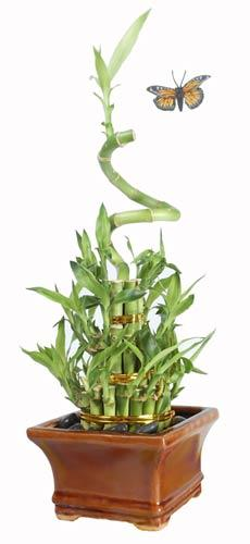 Spiral Tower :: Lucky Bamboo Plant