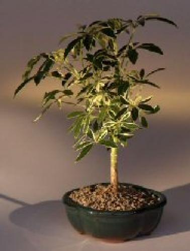 Indoor Bonsai Trees Golden Hawaiian Umbrella Bonsai Tree Medium