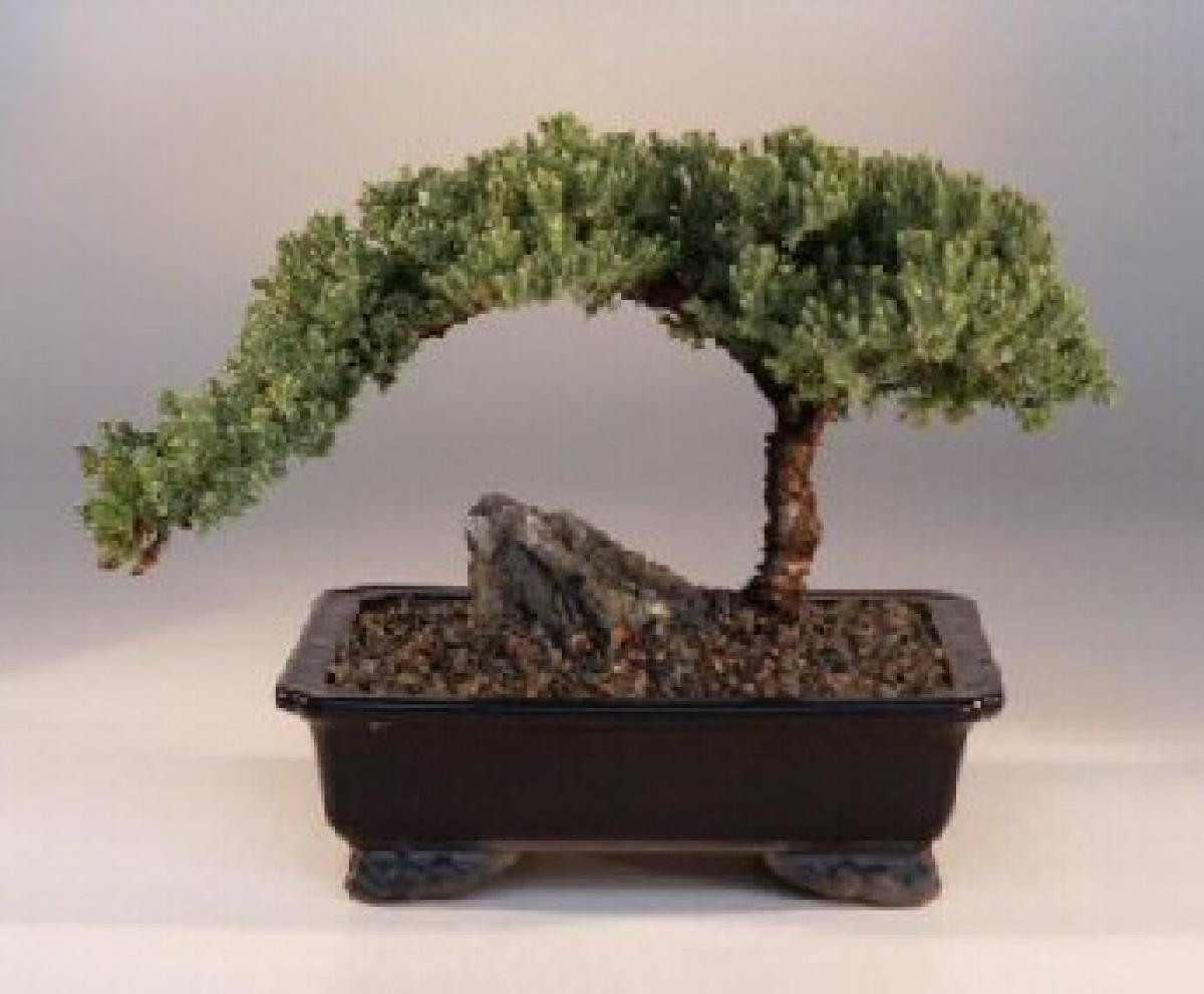 Juniper Bonsai Trees Juniper Money Tree Bonsai