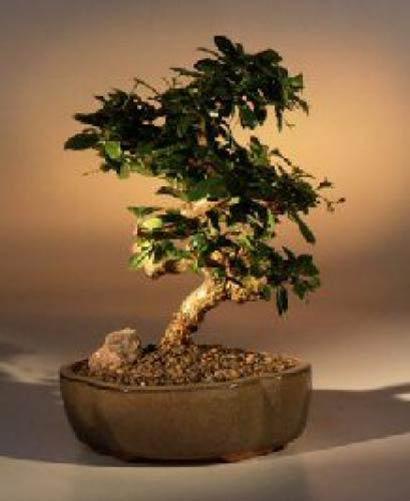 Indoor Bonsai Trees Fukien Tea Bonsai Tree With Curved Trunk