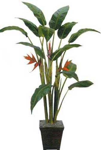 7 foot tall giant heliconia tree