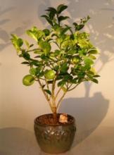 Key Lime Bonsai Tree :: Indoor Bonsai Trees