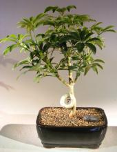 Hawaiian Paradise Bonsai Tree :: Indoor Bonsai Trees