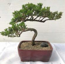 Japanese Bonsai Tree (Medium) :: Japanese Bonsai Trees
