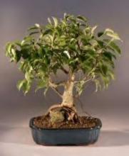 Evergreen Bonsai Tree :: Indoor Bonsai Trees
