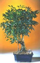 Hawaiian Shade Indoor Bonsai Tree :: Indoor Bonsai Trees