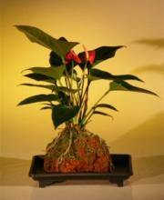 anthurium andraeanum care instructions