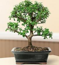 Elephant Bush Bonsai Tree :: Indoor Bonsai Trees