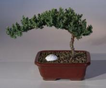 Fairway Juniper Bonsai Tree :: Juniper Bonsai Trees