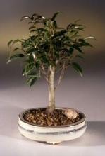 Ficus Money Tree Bonsai :: Lucky Bamboo Plant
