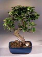 Gold Coin Money Tree Bonsai :: Lucky Bamboo Plant