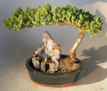 Landscape Juniper Bonsai Tree :: Juniper Bonsai Trees