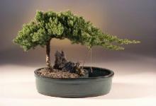 Waterpot Juniper Bonsai Tree :: Juniper Bonsai Trees