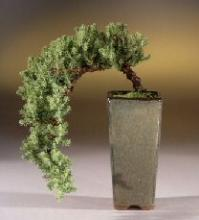 Cascading Juniper Bonsai Tree :: Juniper Bonsai Trees