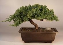 Windswept Japanese Bonsai Tree :: Japanese Bonsai Trees